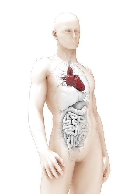 анатомия органов человека